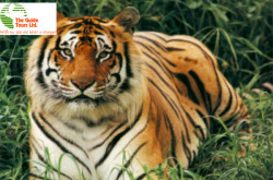 The Guide Tours Ltd - Royal Bengal Tiger